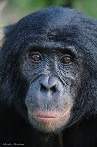 Bonobos are one of humankind's closest living relatives, sharing more than 98% of our DNA. These great apes are complex beings with profound intelligence, emotional expression, and sensitivity. In contrast to the competitive, male-dominated culture of chimpanzees, bonobo society is peaceful, matriarchal, and more egalitarian.