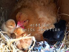 Will A Broody Hen Adopt Chicks? How to introduce chicks to a broody hen (the right way)...