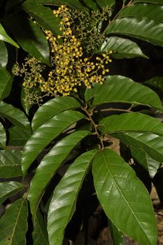 Aglaia > Aglaia is a genus of more than 100 species belonging to the Mahogany family (Meliaceae).