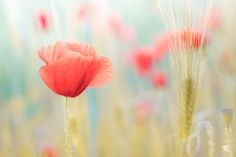 PAPAVERO by pino stranieri on 500px Dandelion, Tourism, Vacation, Poppies Painting, Holiday, Flowers, Nature, Plants, Traveling