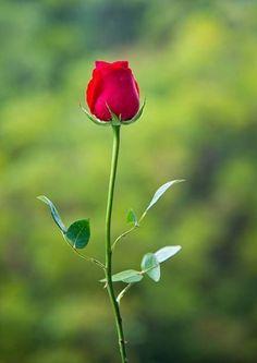🌸🌿 Beautiful Rose Flowers, Beautiful Flowers Wallpapers, Flowers Nature, E. Beautiful Rose Flowers, Beautiful Flowers Wallpapers, Beautiful Nature Wallpaper, Exotic Flowers, Pretty Flowers, Red Rose Flower, Rose Images, Rose Pictures, Flower Images
