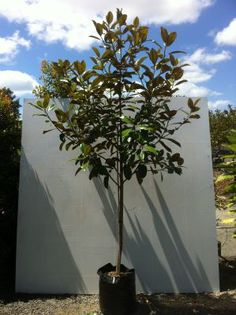 The North Harbour Big Tree Company - Trees - Evergreen Evergreen Magnolia, Tree Company, Big Tree, Backyard Ideas, Trees, Plants, House, Garden, Haus