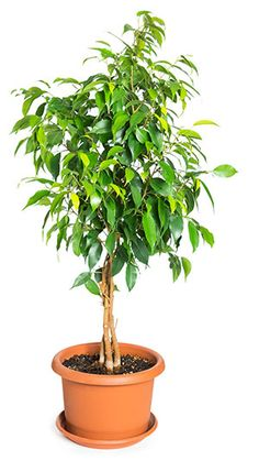 Breathe Easier With These 8 Indoor Plants Ficus Tree, Deco, Indoor Plants, Herbs, Depression, Gardens, Plants, Backyard Farming, Inside Plants