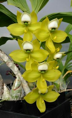 Orchid: Cycnoches warscewiczii 'SVO Swan' - Sunset Valley Orchids ๏~✿✿✿~☼๏♥๏花✨✿写❁~⊱✿ღ~❥ SU Jun ~♥⛩☮️ Unusual Flowers, Rare Flowers, Types Of Flowers, Amazing Flowers, Beautiful Flowers, Unusual Plants, Rare Plants, Exotic Plants, Orchids Garden