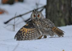 Long-eared Owl Mantling prey. Image by Cezary Korkosz. <