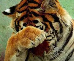 Tigre #xatiado