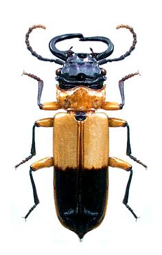 Palaestes abruptus CUCUJIDAE Beetle Insect, Beetle Bug, Cool Insects, Bugs And Insects, Insect Photos, Beautiful Bugs, Animals Beautiful, Cool Bugs, Mundo Animal