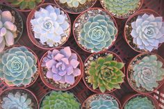 DIY potted succulents as wedding favors.  Perfect for a desert wedding, no?  Other plant favor ideas listed here, too.