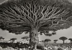 "Beth Moon ""HEART OF THE DRAGON""    There are few places left on earth so remote and untouched by time. Socotra is one of the world's last truly wild places with a uniquely diverse and enchanting landscape of surreal beauty.  Rich in mythical history, Herodotus wrote of the immortal phoenix that came to this island to be reborn in a nest of cinnabar and incense every 1,000 years."