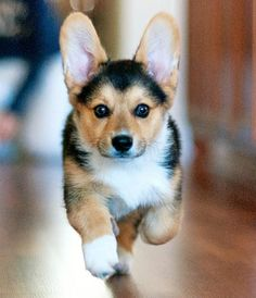 Corgi puppy. How cute are those ears!