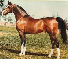 Khemosabi - considered one of the most famous, most beautiful Arabians in the history of the breed