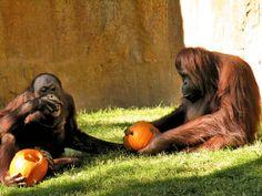 Halloween in 2014 for Orangutan at the Bioparc Fuengirola, Malaga. (Source Facebook of Bioparc Fuengirola)