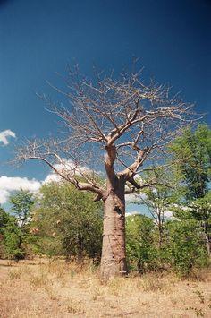 Baobob tree in Liwonde National Park, Malawi
