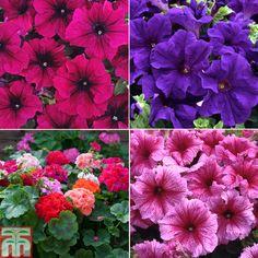 Summer Border Collection - Annual Plants - Thompson & Morgan