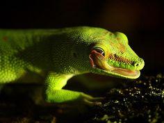 Madagascar Giant Day Gecko / Großer Madagaskar-Taggecko (Phelsuma grandis) by Sexecutioner, via Flickr