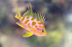 """libutron: """" Checked swallowtail - Odontanthias borbonius Odontanthias borbonius (Perciformes - Serranidae) is a pelagic fish that frequents great depths (to 300 meters). It is native to the Indo-Pacific, and is also called Yellow-spotted Anthias and. Salt Water Fish, Salt And Water, Colorful Fish, Tropical Fish, Pelagic Fish, Saltwater Aquarium Fish, Fishing World, Underwater Creatures, Beautiful Fish"""