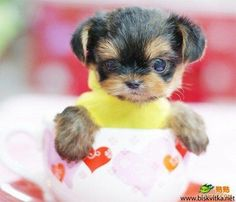 puppies that fit in a cup