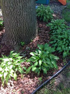 Hostas around my tree