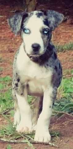 Louisiana Catahoula Leopard Dog  These pups are so ugly their cute! Lol if that even makes any sense
