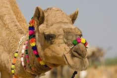 CAMELLOS ADORNADOS - Camel at the Pushkar Fair, Rajasthan, India Stock Photo - 16437574