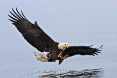 Saw this very thing at my pond going after my duck!  Scary!  Who has bald eagles in their back yard?  Lucky me!