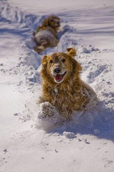 "Golden Retriever Puppies ""I love the snow!"" says my dog and every other golden retriever Baby Dogs, Pet Dogs, Dogs And Puppies, Dog Cat, Pets, Pet Pet, Golden Retrievers, Funny Animals, Cute Animals"