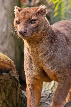 Fossa from Madagascar. Until recently scientists thought the fossa, with its feline features, was a primitive kind of cat. It's actually one of the largest members of the mongoose family.