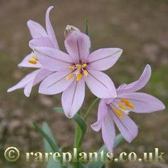 Fritillaria pluriflora