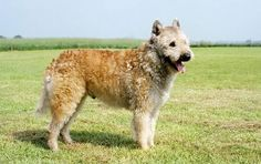 Belgian Laekenois - This breed is one of four types of dogs known as the Belgian sheepdogs (the others are the Belgian Sheepdog, the Belgian Tervuren and the Belgian Malinois).