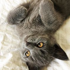 So Sweet #lovecats #britishshorthair #britishkitten #family #sweet #stolz
