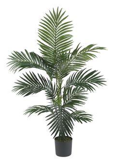 Brookings Kentia Palm Tree in Pot