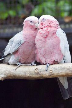 Pink Parrots #parrotsinpairs