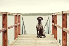 German Shorthaired Pointer photography by Dallas based documentary photographer Ashley Langford.