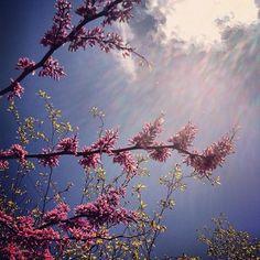 Redbud/Birch/Sky