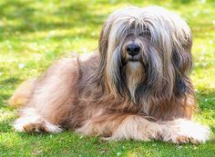 Tibetan Terrier information including pictures, training, behavior, and care of Tibetan Terriers and dog breed mixes. Lazy Dog Breeds, All Breeds Of Dogs, Dog Breeds List, Pet Breeds, Best Dog Breeds, Tibetan Terrier Breeders, Terrier Dog Breeds, Terriers, Lhasa