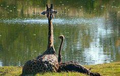 Una jirafa y un avestruz