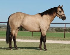 Jesses Topaz | 2011 Buckskin Stallion. His Sire, MR JESS PERRY SI 113. Champion 2-Year-Old, Champion 2-Year-Old Colt, stakes winner, $687,184, Texas Classic Futurity [G1]-NTR, Texas Classic Derby [G1], etc. Sire of 17 crops of racing age, 1429 foals, 1185 starters, 963 ROM, 125 stakes winners and 775 winners, earning $47,086,974. The AQHA #2 All-Time Living Sire of Money-Earners.