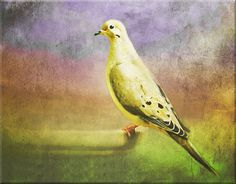 Mourning Dove Love #birds #feathers