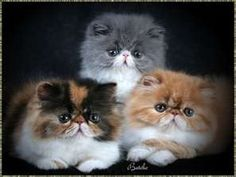 The orange and white looks like our Henry.  He is a 17 pound orange and white persian.