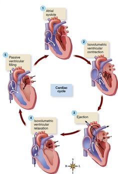 Physiology of the Cardiovascular System Medical Facts, Medical Science, Medical Information, Biology Lessons, Teaching Biology, Circulatory System For Kids, Basic Anatomy And Physiology, Medicine Student, Human Body Anatomy
