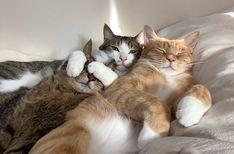 スタイリスト大草直子がコンセプトディレクターを務める、成熟に向かうミドルエイジ女性のためのwebマガジン『mi-mollet』。ファッション、ビューティ&ヘルス、ライフスタイルのリアルな最新情報を毎日配信。女性の働き方や生き方のヒントになる読み物もたっぷり届けします。 Pretty Cats, Beautiful Cats, Cute Cats, Funny Cats, Baby Animals, Funny Animals, Cute Animals, Kittens And Puppies, Cats And Kittens