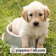 See how cute are those #Golden Retriever Puppies! https://www.youtube.com/watch?v=riQTu_939MY&nohtml5=False