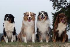 Australian Shepherd dogs | Black/white - copper/white - blue merle - red merle | Life span 13-15 years