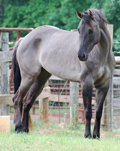 Gunsmokes Violet Blue, grulla American Quarter Horse from Melissa & Chenoah Rising Spirit Farms All The Pretty Horses, Beautiful Horses, Animals Beautiful, Majestic Horse, Majestic Animals, Horses And Dogs, Wild Horses, Black Horses, Horse Photos
