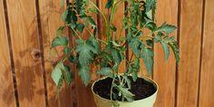 7 μυστικά για καλλιέργεια ντομάτας (+video) | Τα Μυστικά του Κήπου Agriculture, Garden, Plants, Garten, Lawn And Garden, Gardens, Plant, Gardening, Outdoor