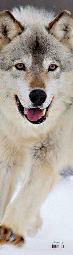 Fantastic Looking Wolf.