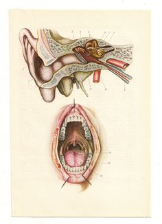 from https://www.etsy.com/listing/118343224/2-vintage-anatomical-prints-mouth?ref=shop_home_active      2 Vintage Anatomical Prints mouth Medical Diagrams skull skeleton brain Illustrations Anatomy Print Paper Ephemera Old Victorian