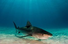 Tiger Shark | Flickr - Photo Sharing!