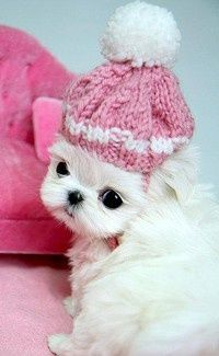 Maltese with pink hat.
