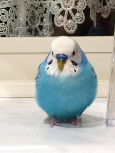 Looks like Skye, except for the blue cere